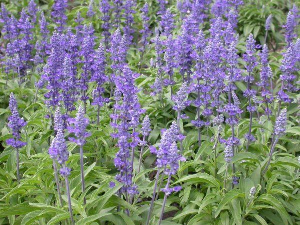230-plantas-medicinales-mas-efectivas-y-sus-usos-salvia-cogollos