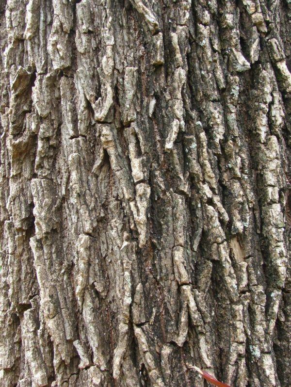 230-plantas-medicinales-mas-efectivas-y-sus-usos-sauce-cortezas