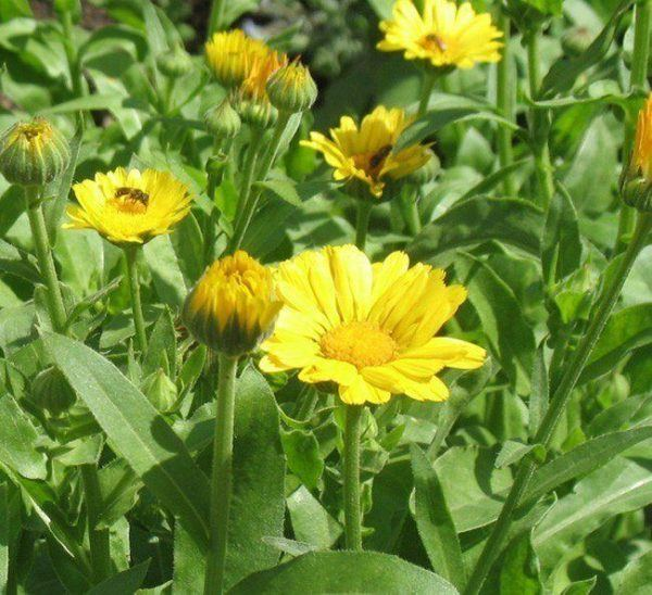 230-plantas-medicinales-mas-efectivas-y-sus-usos-tila-flor-extra-limpia