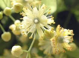230-plantas-medicinales-mas-efectivas-y-sus-usos-tila-solo-flor
