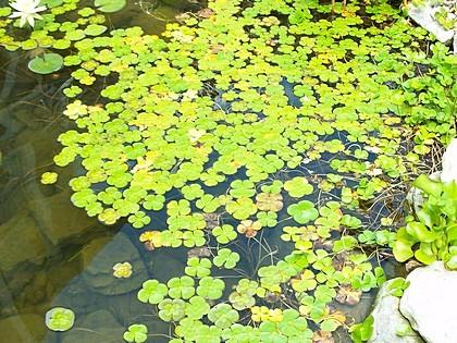 230-plantas-medicinales-mas-efectivas-y-sus-usos-trebol-de-agua