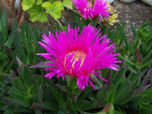230-plantas-medicinales-mas-efectivas-y-sus-usos-uñas-de-gato