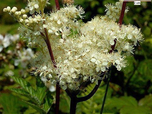 230-plantas-medicinales-mas-efectivas-y-sus-usos-ulmaria-plantaulan