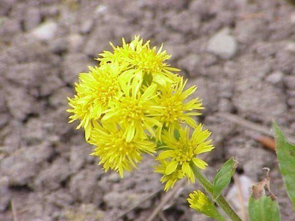 230-plantas-medicinales-mas-efectivas-y-sus-usos-vara-de-oro-solidago