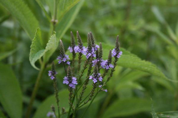 230-plantas-medicinales-mas-efectivas-y-sus-usos-verbena