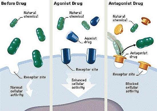 Agonista   Antagonista - Demedicina.com