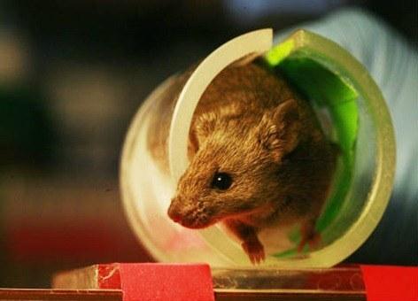 Ratones ciegos recuperan la vista gracias al trasplante de células fotosensibles