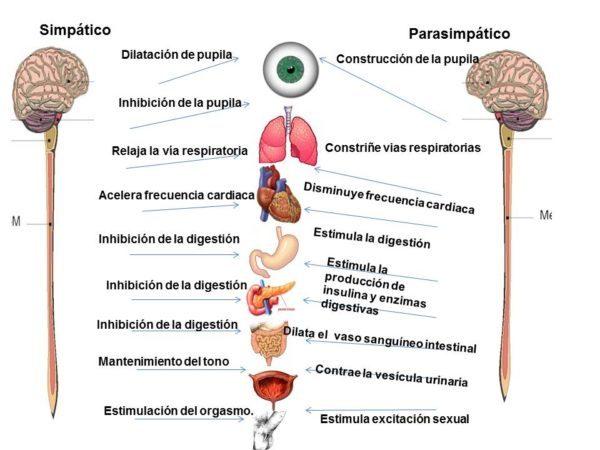 El-sistema-nervioso-parasimpático