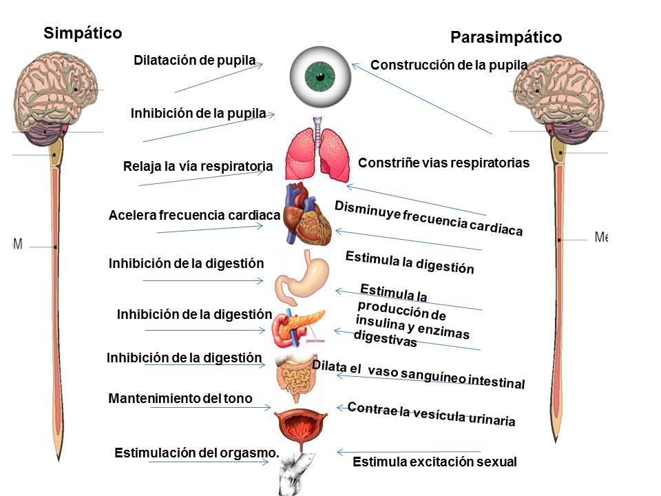 Sistema Nervioso Simpático Y Parasimpático Diferencias Y Funciones Demedicina Com