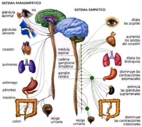 Sistema nervioso simpático y parasimpático: diferencias y funciones ...