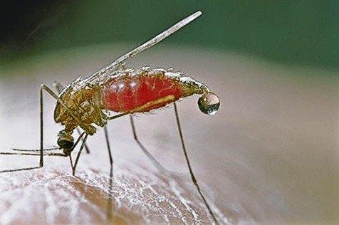 western malaria mosquito