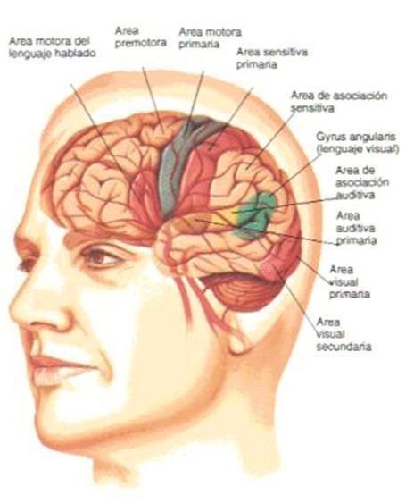 cerebro-8horas