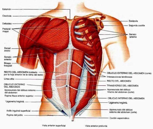 Qué es el diafragma | Anatomía, importancia y funciones - Demedicina.com