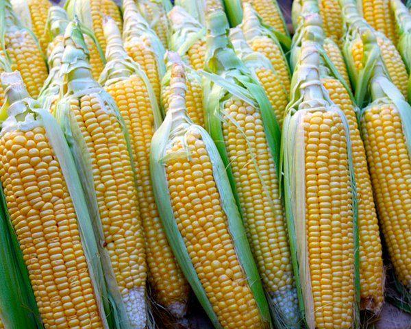 disruptores-endocrinos-maiz