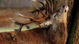 ¿Que es la enfermedad de los ciervos zombies y porque puede afectar a las personas?