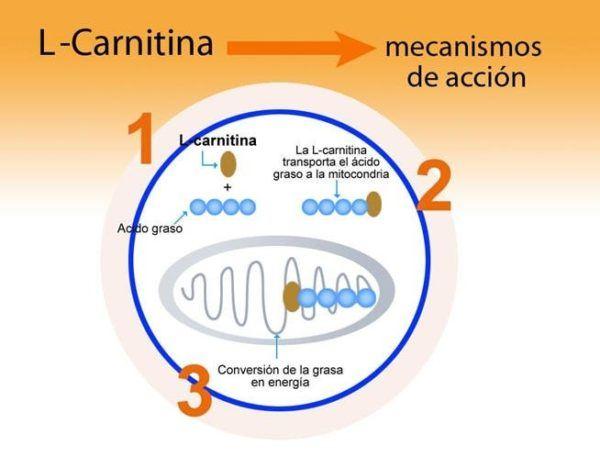 las-ampollas-de-l-carnitina-del-mercadona-para-adelgazar-funcion