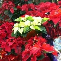 planta-navidad