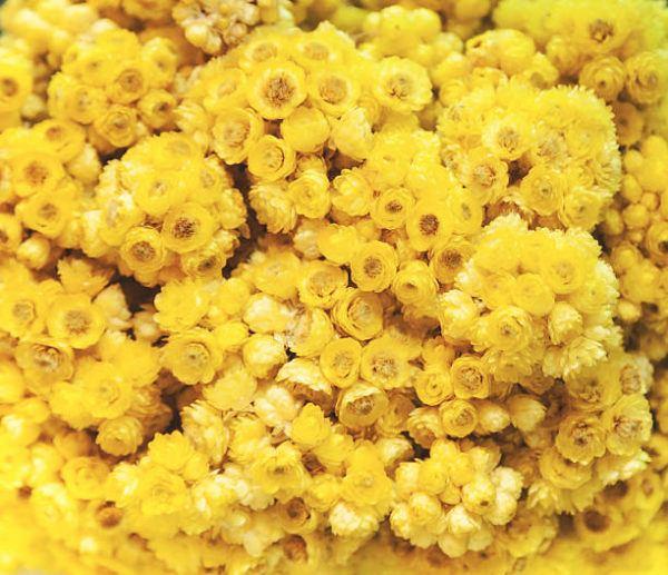 Plantas medicinales Helicriso