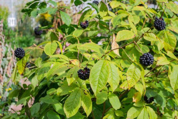 Plantas medicinales ginseng siberiano