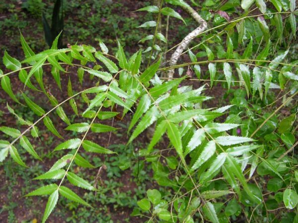 remedios-hierbas-colitis-ulcerosa