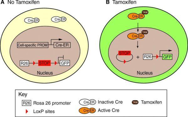 tamoxifeno-en-cancer-de-mama-celulas