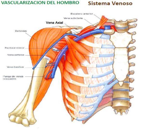 Magnífico Diagrama De Tendón Del Hombro Motivo - Anatomía de Las ...