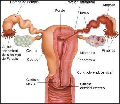 tipos-de-flujo-vaginal-dibujo