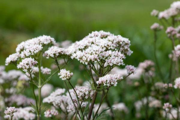 Valeriana que es propiedades beneficios efectos secundarios