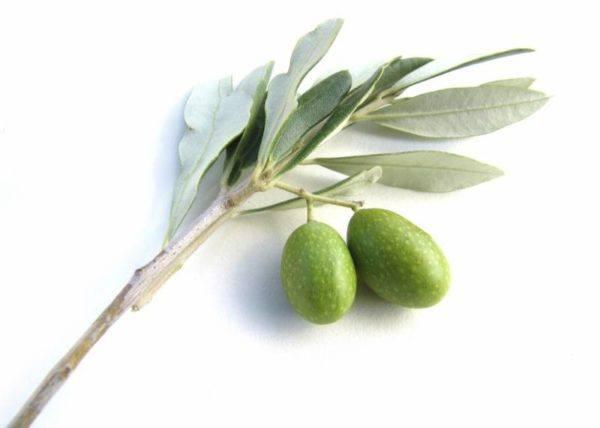 varicocele-tratamiento-natural-hoja-de-olivo