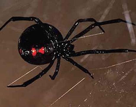Picaduras de arañas| cómo actuar